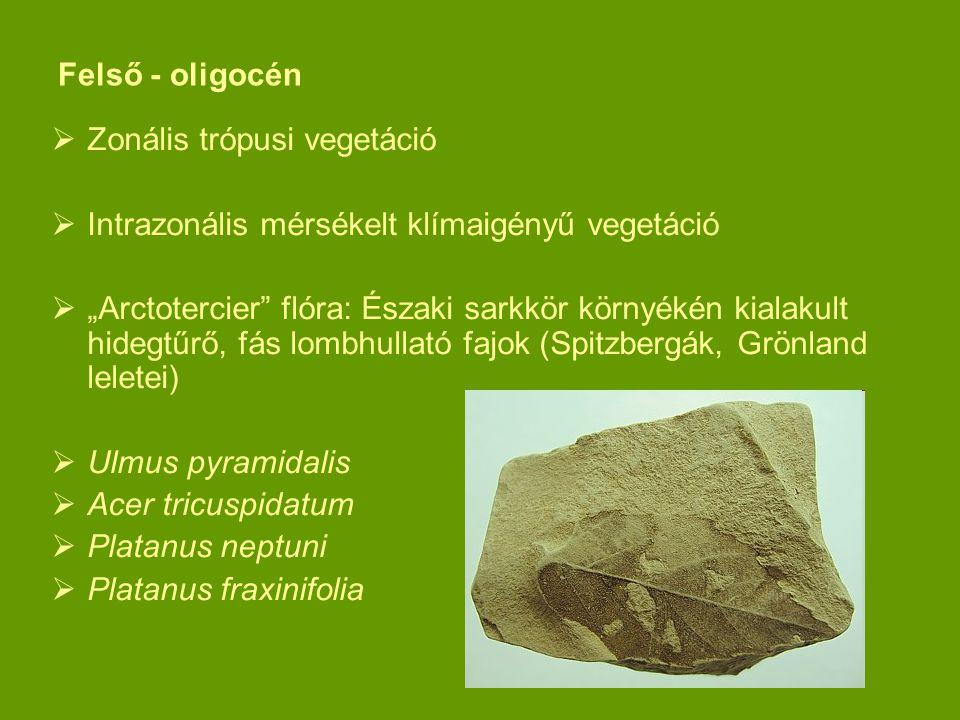 Felső - oligocén Zonális trópusi vegetáció. Intrazonális mérsékelt klímaigényű vegetáció.