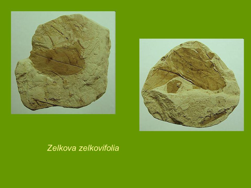 Zelkova zelkovifolia