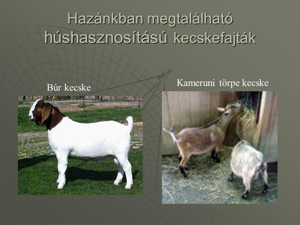 Hazánkban megtalálható húshasznosítású kecskefajták