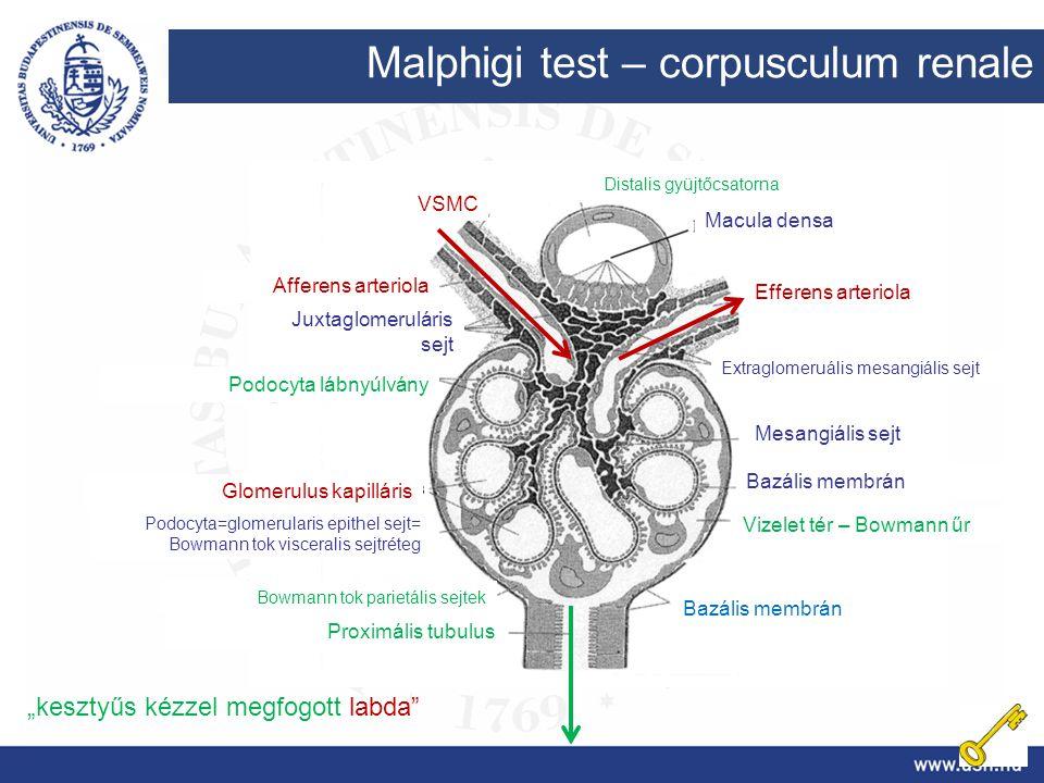 Malphigi test – corpusculum renale