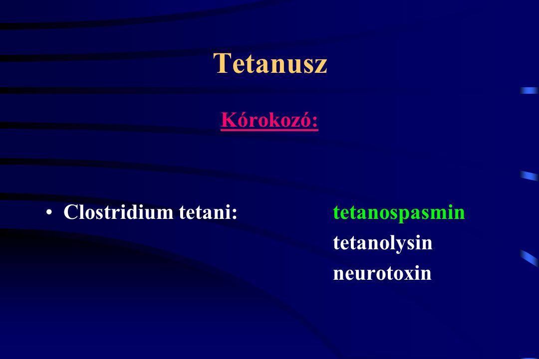 Tetanusz Kórokozó: Clostridium tetani: tetanospasmin tetanolysin