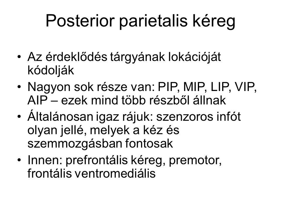 Posterior parietalis kéreg