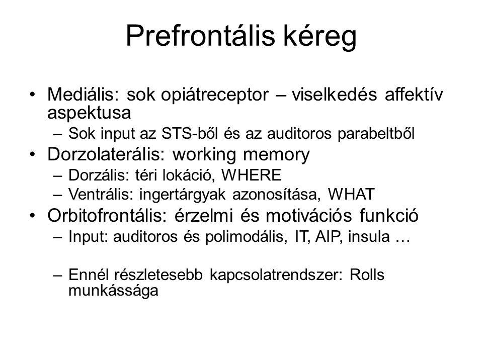 Prefrontális kéreg Mediális: sok opiátreceptor – viselkedés affektív aspektusa. Sok input az STS-ből és az auditoros parabeltből.