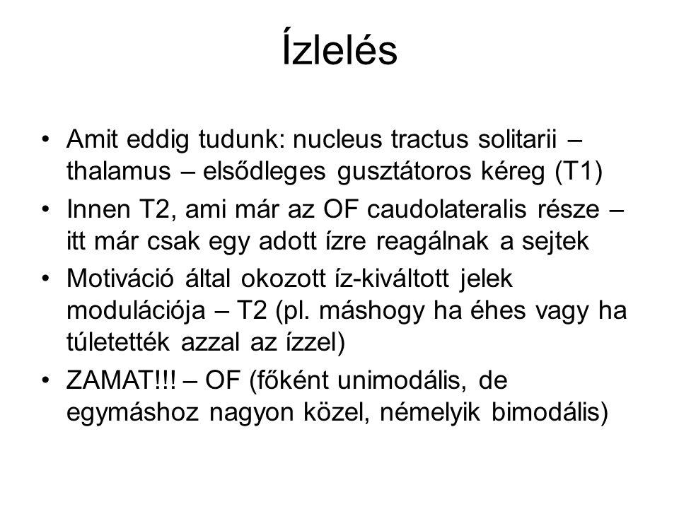 Ízlelés Amit eddig tudunk: nucleus tractus solitarii – thalamus – elsődleges gusztátoros kéreg (T1)