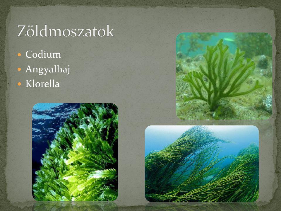 Zöldmoszatok Codium Angyalhaj Klorella
