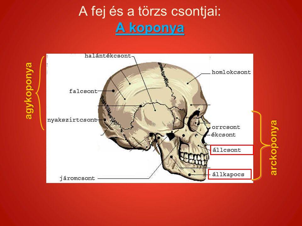 A fej és a törzs csontjai: A koponya