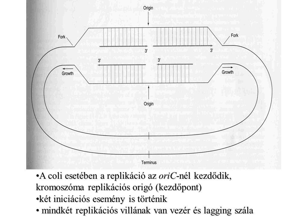 A coli esetében a replikáció az oriC-nél kezdődik, kromoszóma replikációs origó (kezdőpont)