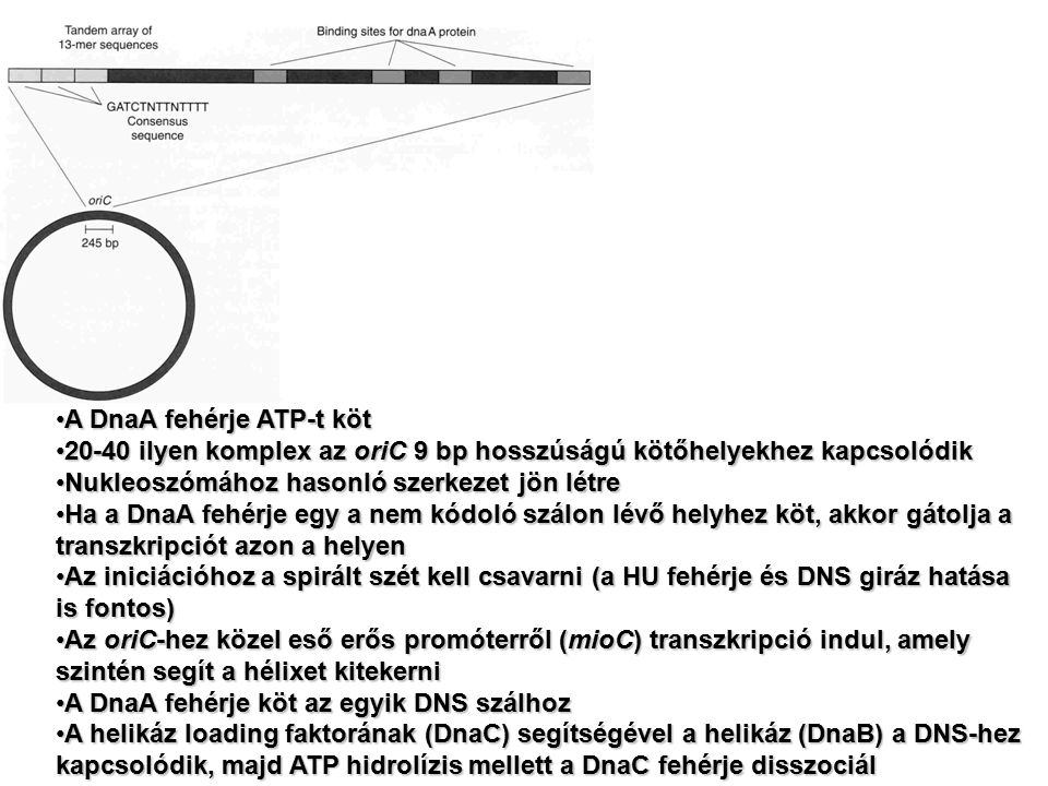A DnaA fehérje ATP-t köt
