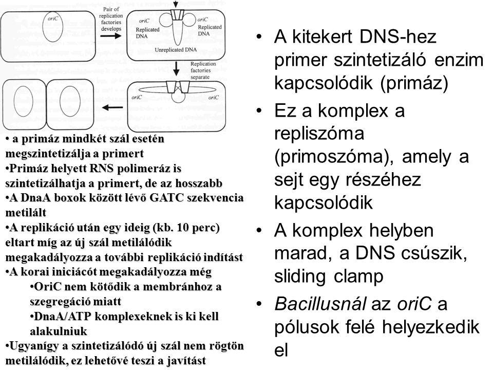 A kitekert DNS-hez primer szintetizáló enzim kapcsolódik (primáz)