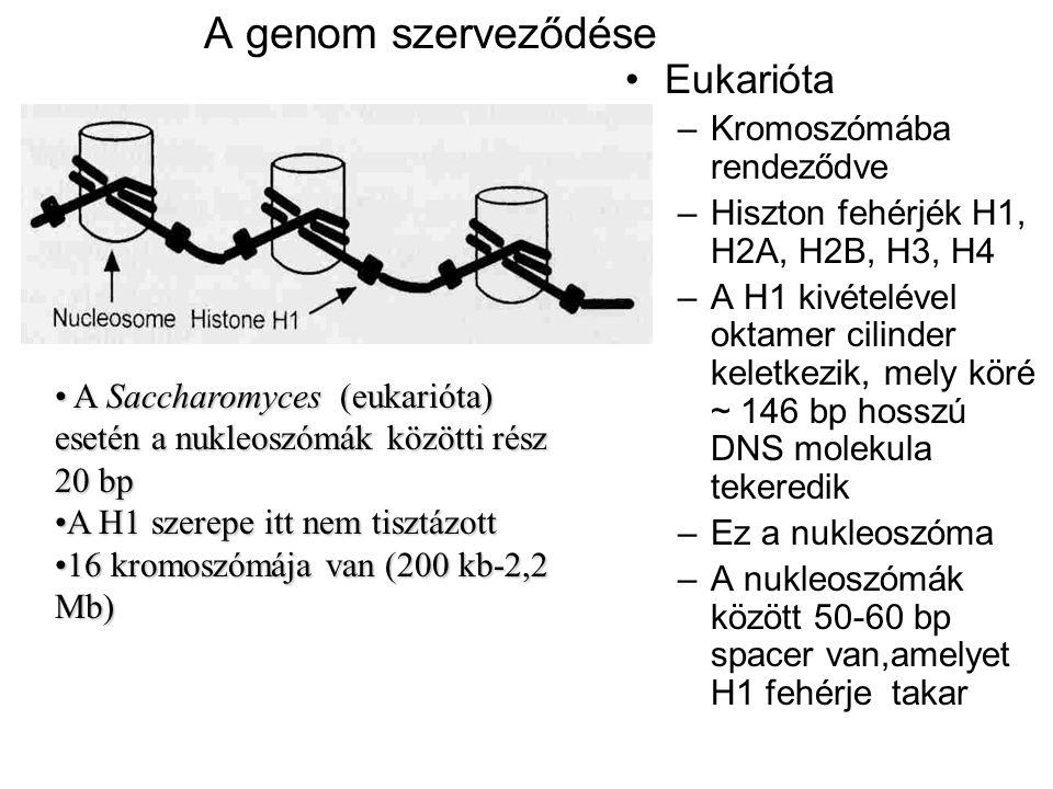 A genom szerveződése Eukarióta Kromoszómába rendeződve