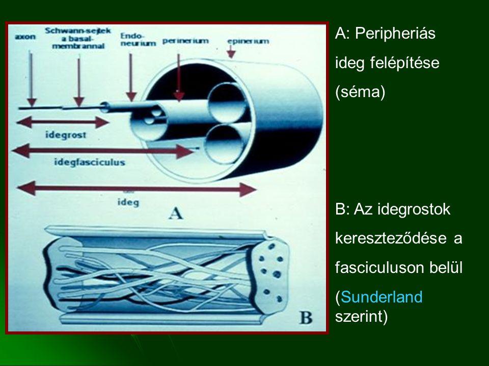 A: Peripheriás ideg felépítése. (séma) B: Az idegrostok.