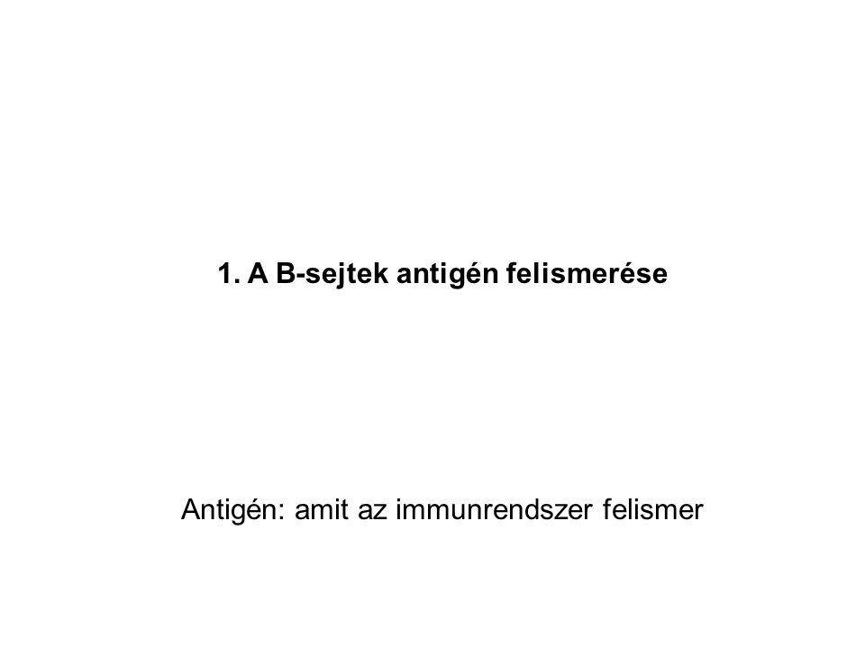 1. A B-sejtek antigén felismerése