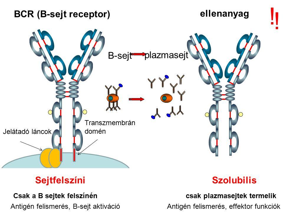 ! ! BCR (B-sejt receptor) ellenanyag B-sejt plazmasejt
