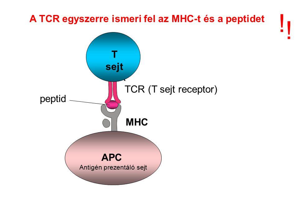 A TCR egyszerre ismeri fel az MHC-t és a peptidet