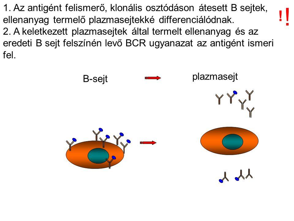 1. Az antigént felismerő, klonális osztódáson átesett B sejtek, ellenanyag termelő plazmasejtekké differenciálódnak.