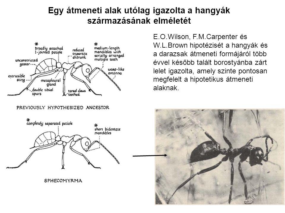 Egy átmeneti alak utólag igazolta a hangyák származásának elméletét