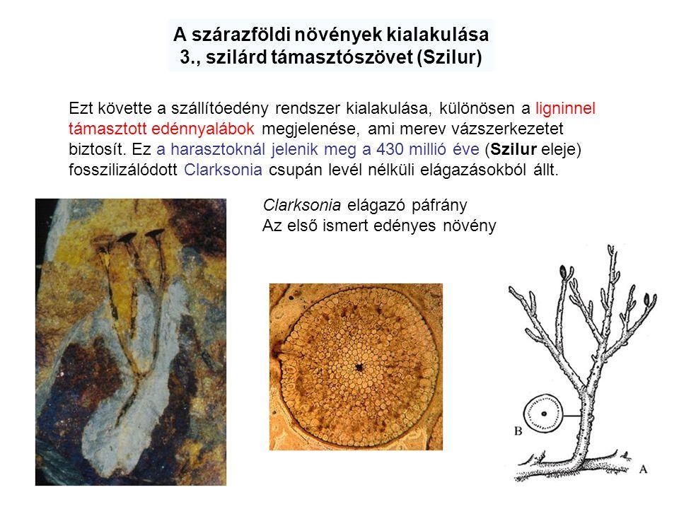 A szárazföldi növények kialakulása 3., szilárd támasztószövet (Szilur)