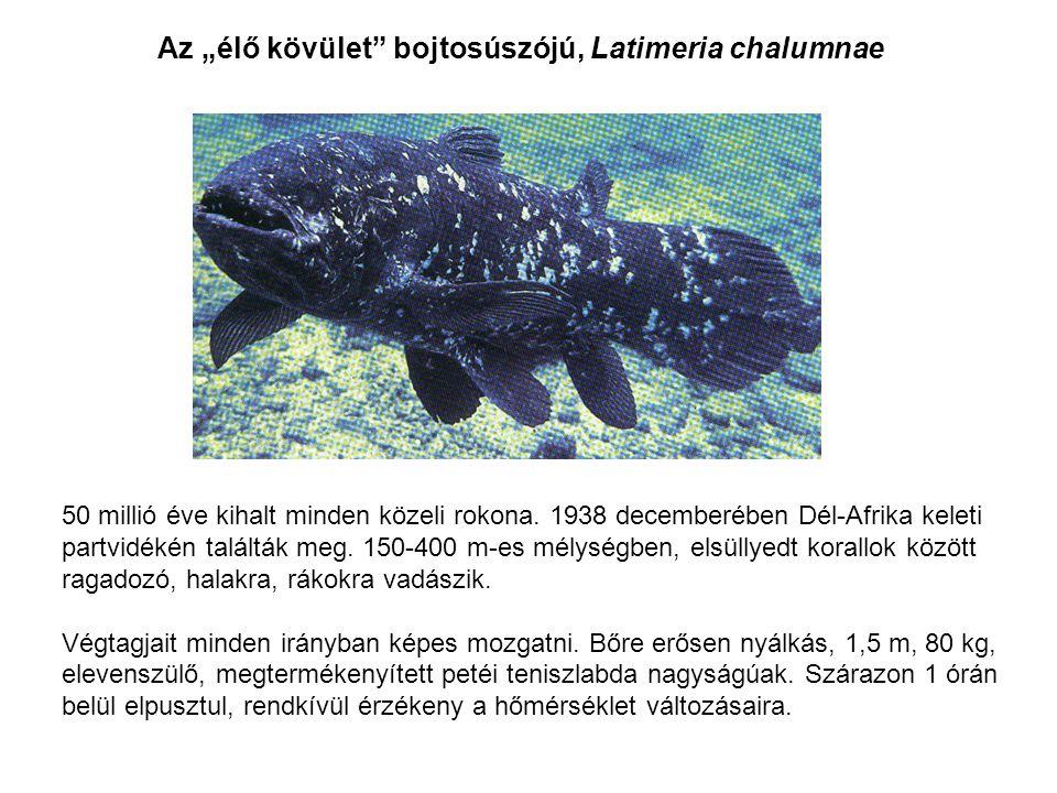 """Az """"élő kövület bojtosúszójú, Latimeria chalumnae"""