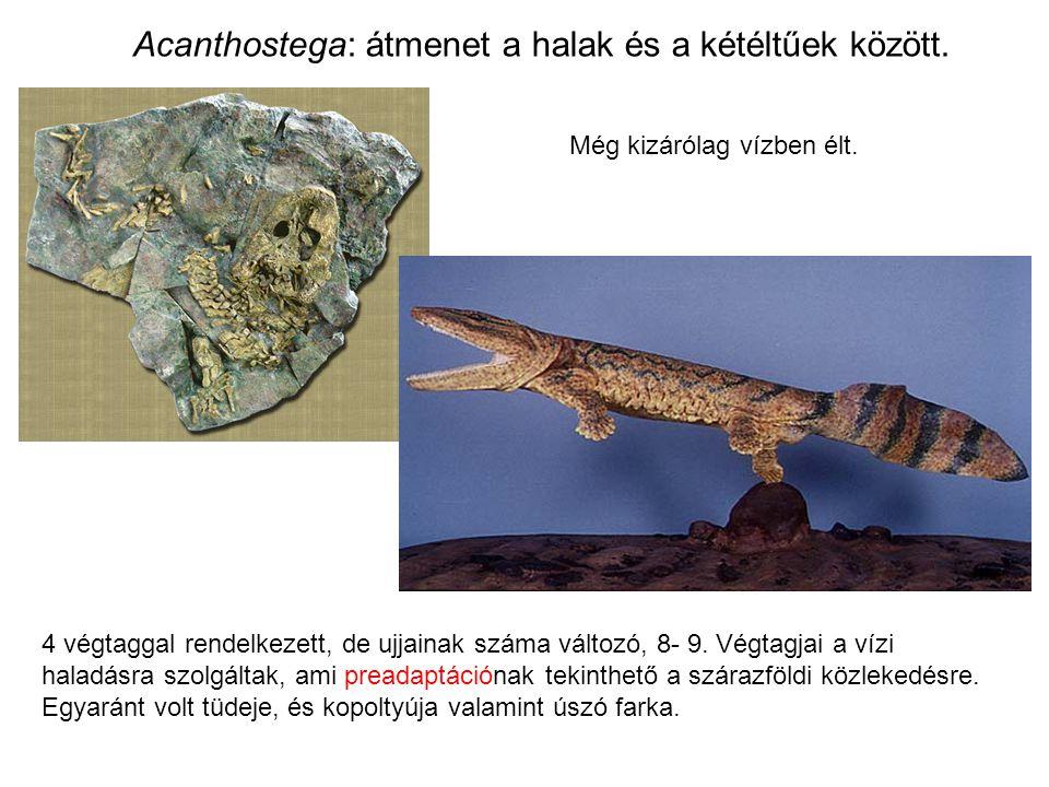 Acanthostega: átmenet a halak és a kétéltűek között.