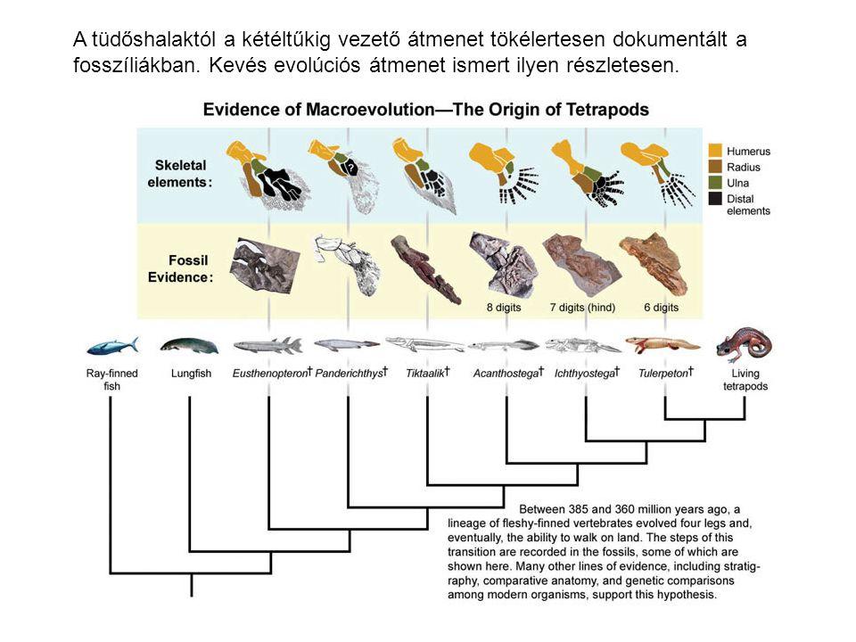 A tüdőshalaktól a kétéltűkig vezető átmenet tökélertesen dokumentált a fosszíliákban.