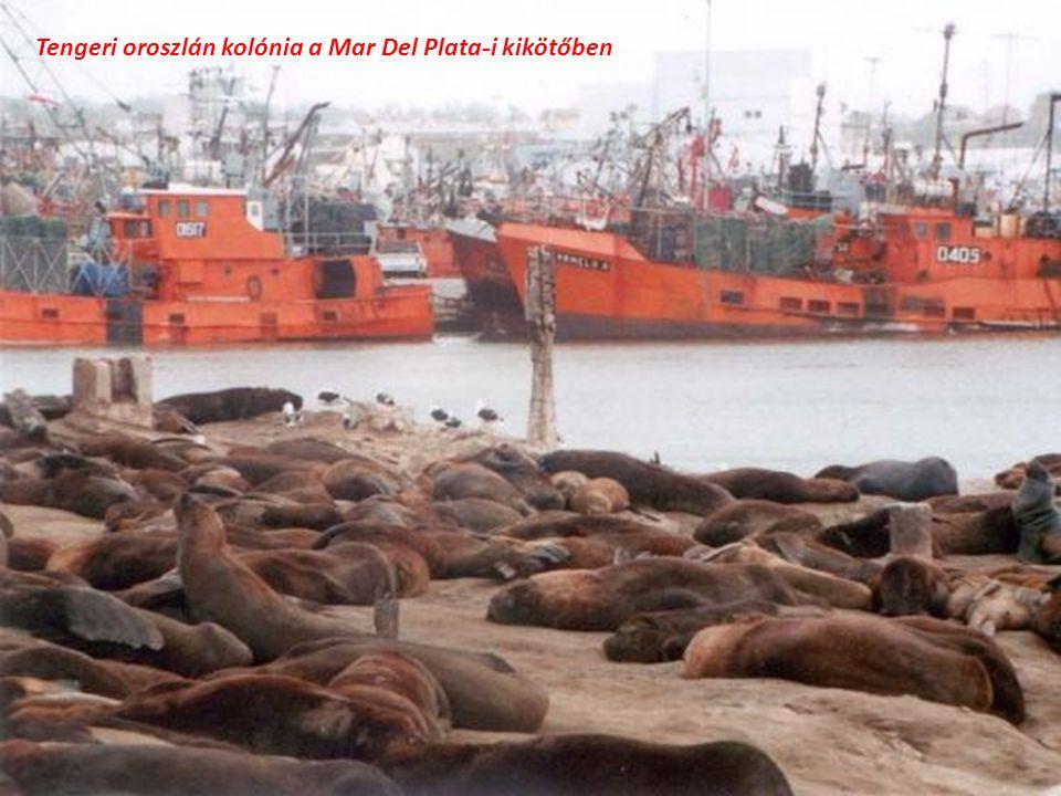 Tengeri oroszlán kolónia a Mar Del Plata-i kikötőben