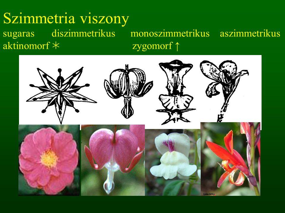 Szimmetria viszony sugaras diszimmetrikus monoszimmetrikus aszimmetrikus aktinomorf  zygomorf ↑
