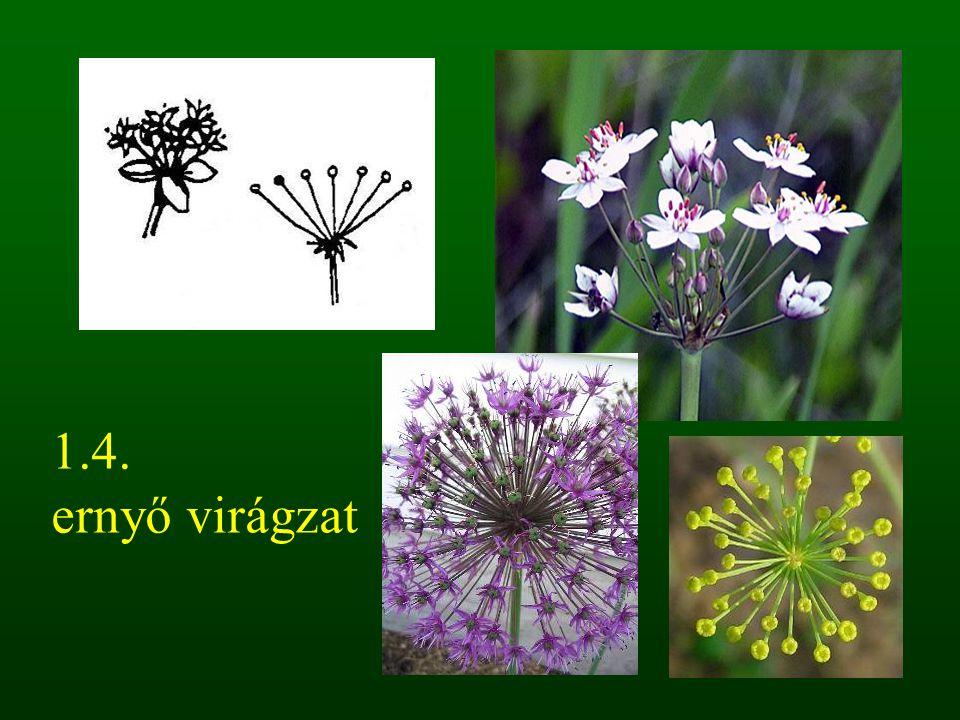 1.4. ernyő virágzat