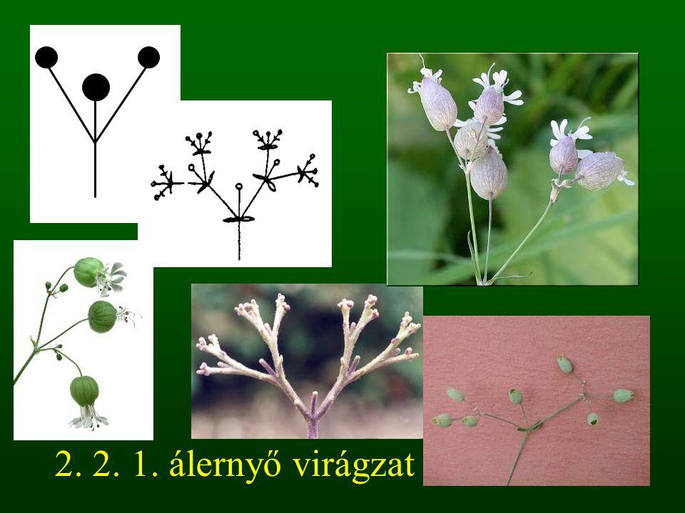 2. 2. 1. álernyő virágzat