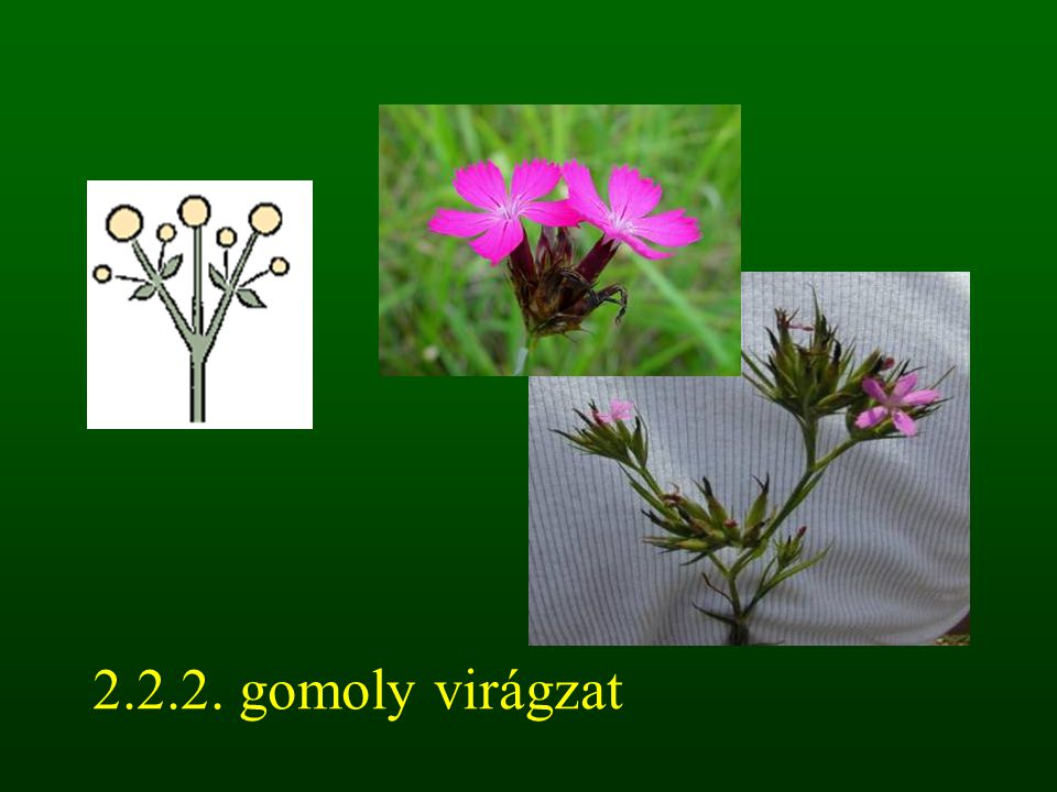 2.2.2. gomoly virágzat