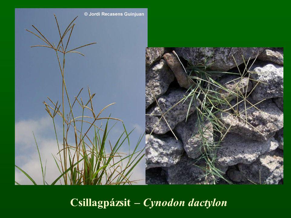 Csillagpázsit – Cynodon dactylon