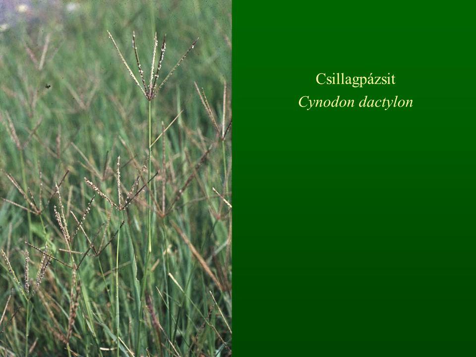 Csillagpázsit Cynodon dactylon