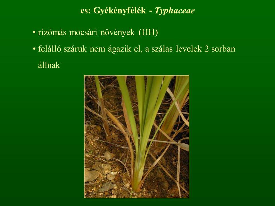 cs: Gyékényfélék - Typhaceae