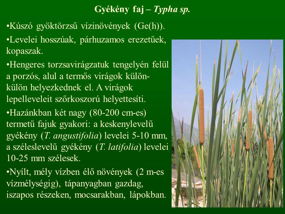 Gyékény faj – Typha sp. Kúszó gyöktörzsű vízinövények (Ge(h)). Levelei hosszúak, párhuzamos erezetűek, kopaszak.