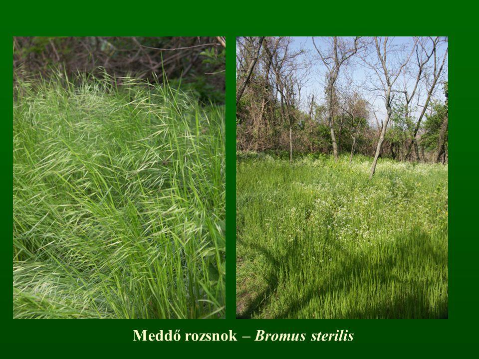 Meddő rozsnok – Bromus sterilis