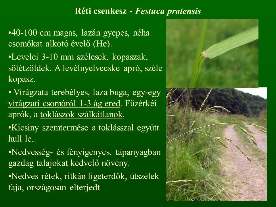 Réti csenkesz - Festuca pratensis