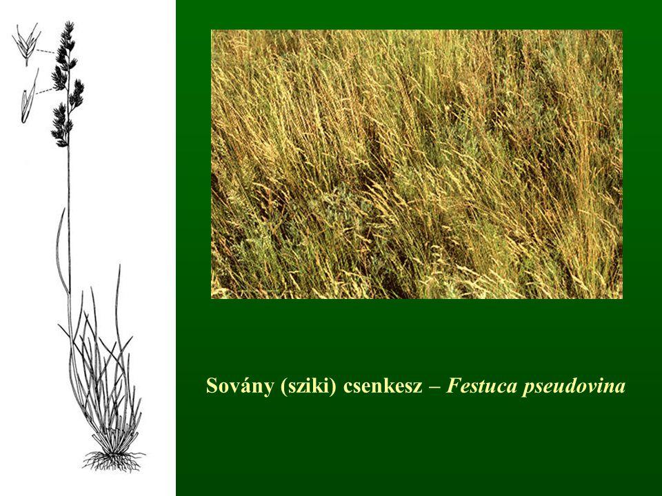Sovány (sziki) csenkesz – Festuca pseudovina
