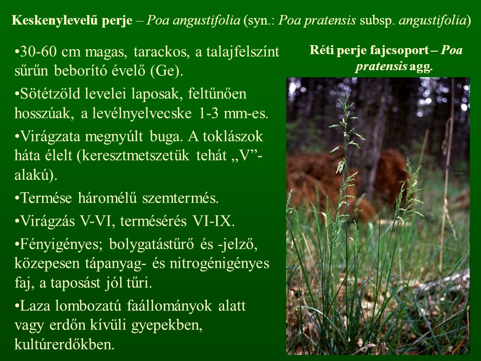 Réti perje fajcsoport – Poa pratensis agg.