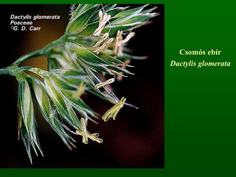 Csomós ebír Dactylis glomerata