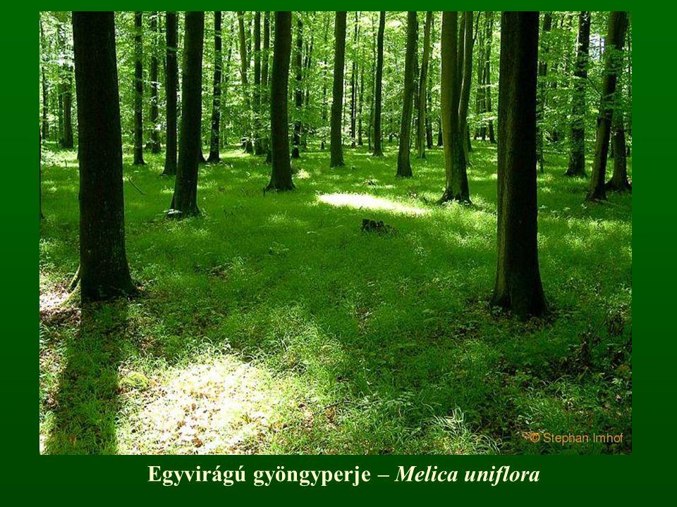 Egyvirágú gyöngyperje – Melica uniflora