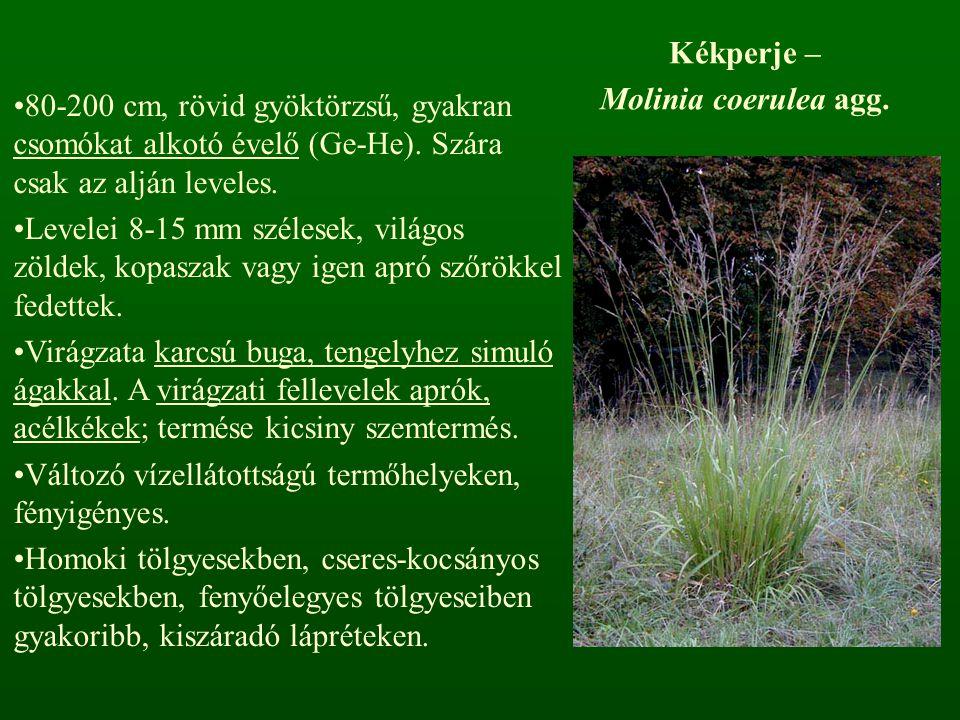 Kékperje – Molinia coerulea agg. 80-200 cm, rövid gyöktörzsű, gyakran csomókat alkotó évelő (Ge-He). Szára csak az alján leveles.