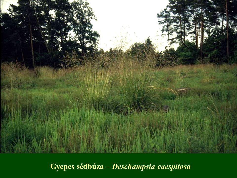 Gyepes sédbúza – Deschampsia caespitosa