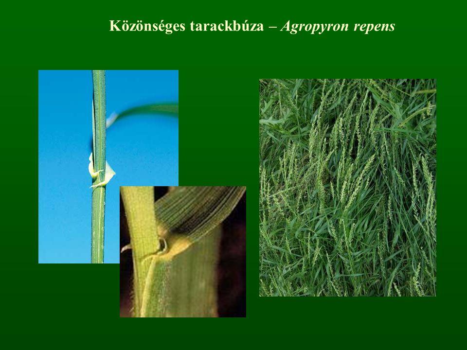 Közönséges tarackbúza – Agropyron repens