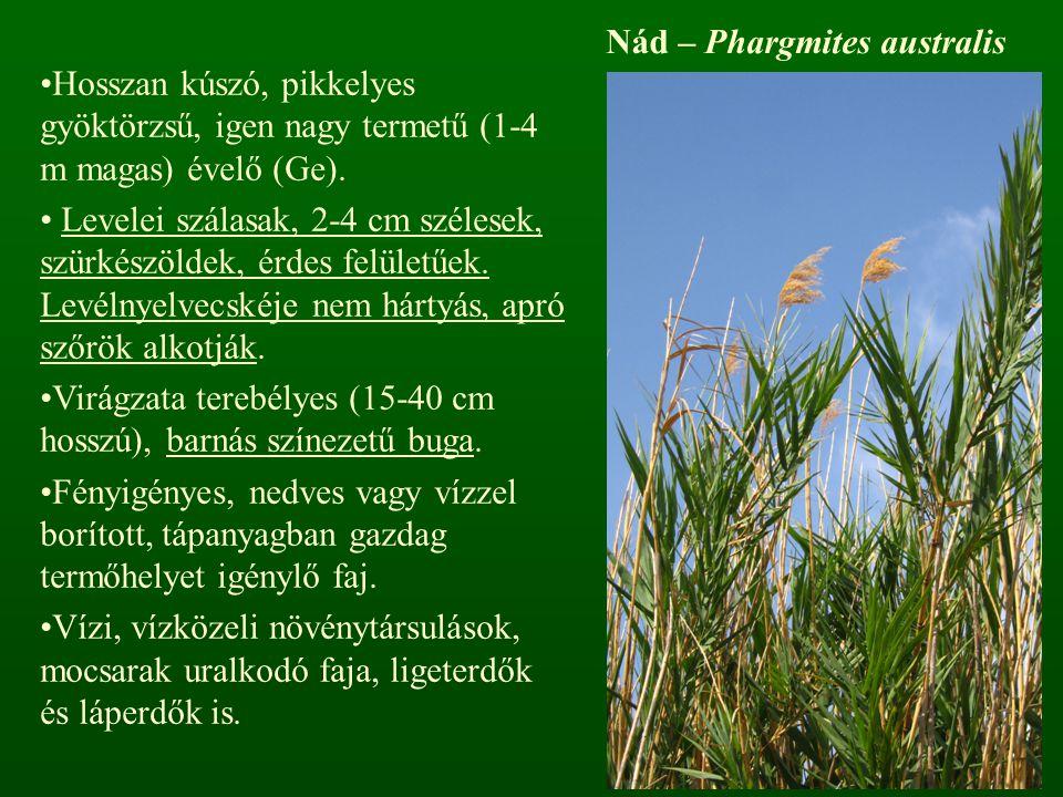 Nád – Phargmites australis