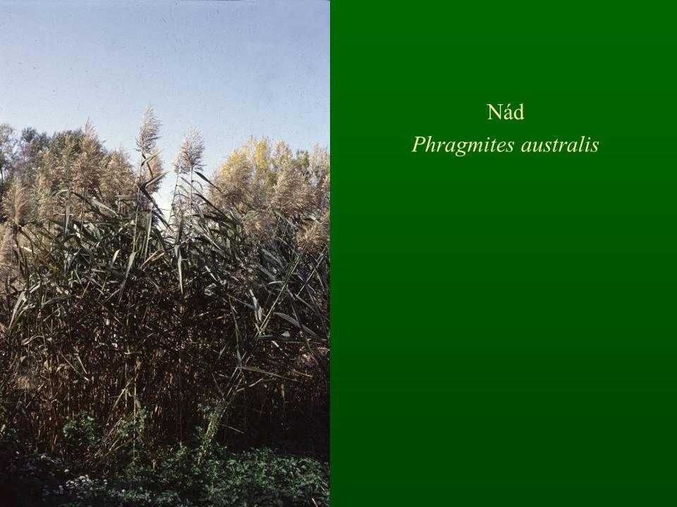 Nád Phragmites australis