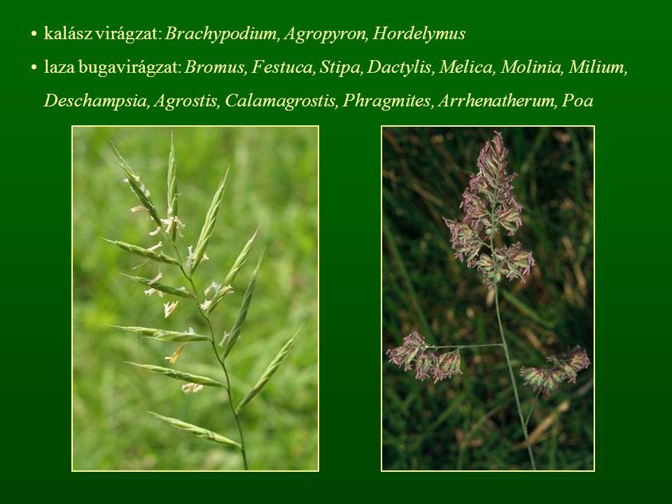 kalász virágzat: Brachypodium, Agropyron, Hordelymus