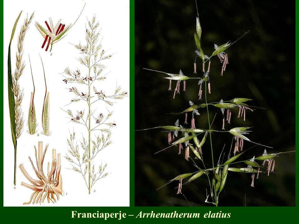 Franciaperje – Arrhenatherum elatius