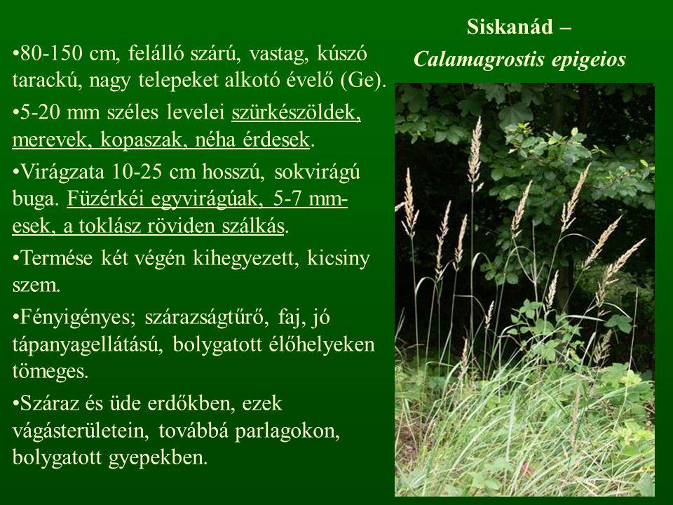 Calamagrostis epigeios