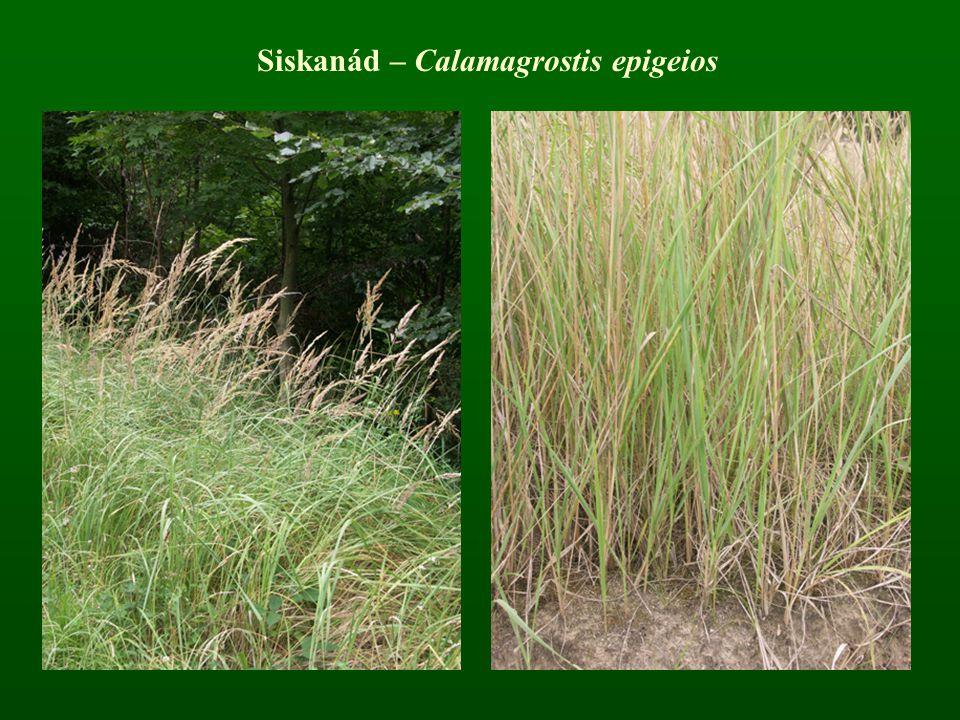 Siskanád – Calamagrostis epigeios