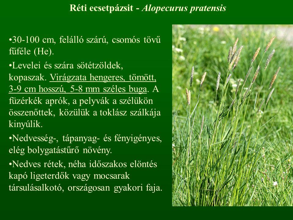 Réti ecsetpázsit - Alopecurus pratensis