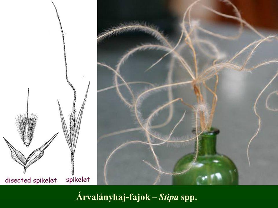 Árvalányhaj-fajok – Stipa spp.